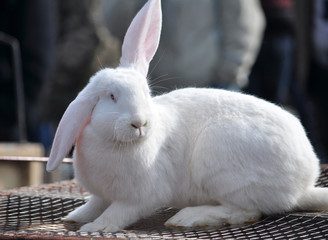 Rabbit at the show's sale