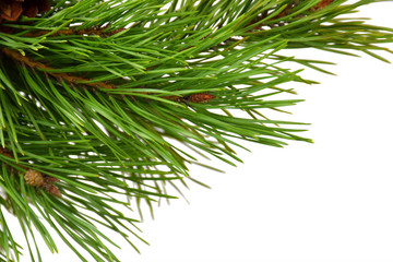 A branch of a pine close-up. Isolated on white background. Christmas. New Year.
