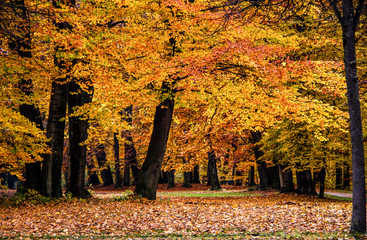 Autumn Forest with colorful orange leaves