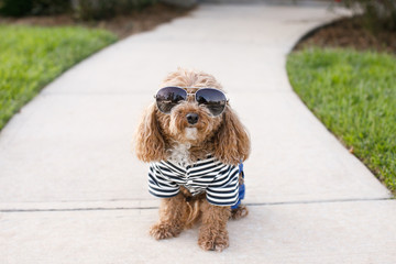 Redhead Cute Trendy Bichon Poodle in Casual Outfit Outside with Sunglasses