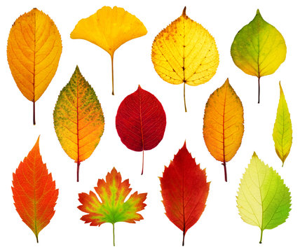 Collection beautiful colorful autumn leaves isolated on white background. Autumn background.