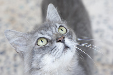 Closeup to gray cat with green eyes