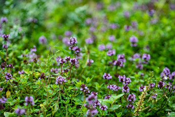 blooming thyme closeup