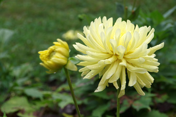 The Yellow Dahlia