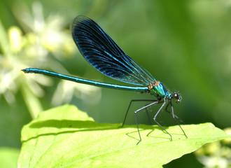 Dragonfly sits on a green leaf
