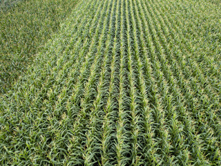 Wall Mural - Organic natural green field of corn. Top view aerial photo from drone in the summer.