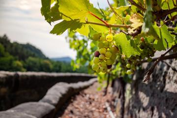 Weinstock mit weissen Weintrauben