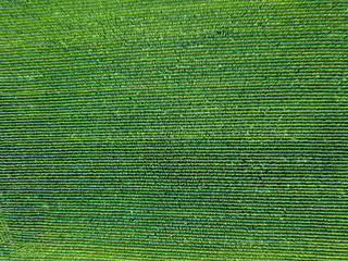 Wall Mural - Green field, sown with natural ecological crops from a bird's eye view from a flying drone.