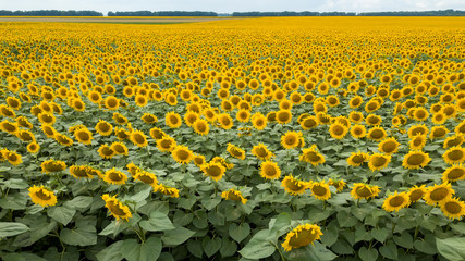 Wall Mural - Summer natural landscape with a flowering field of yellow sunflowers against the background of a cloudy sky.