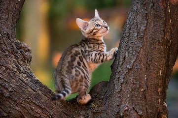 Bengal Kitten on old Tree