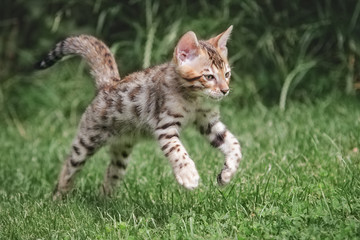 Bengal Kitten jump