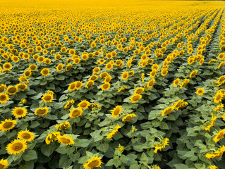 Wall Mural - Panoramic view from drone to beautiful yellow field with sunflowers at summer sunny day.