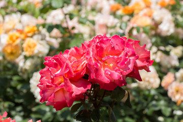 Pair of blooming beautiful colorful roses in the garden