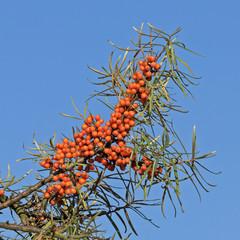 Beeren und Blätter des Sanddorns (Hippophae rhamnoides, Sea Buckthorn)