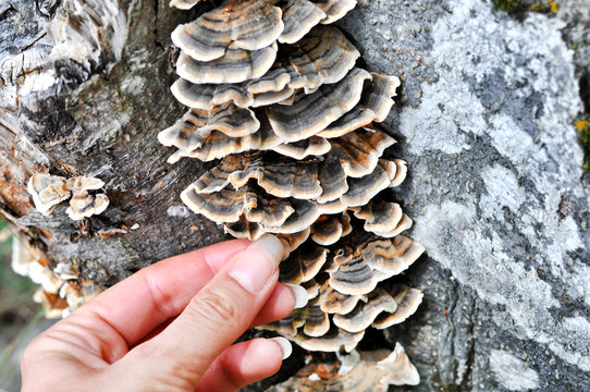 Woman's hand picking Trametes versicolor mushroom, commonly the turkey tail.A very medicinal mushroom used in medical research for the purpose of cancer treatment