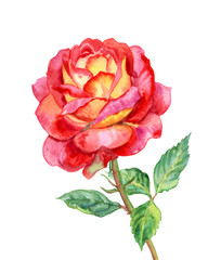 Red-yellow rose, watercolor drawing on white background, isolated with clipping path.