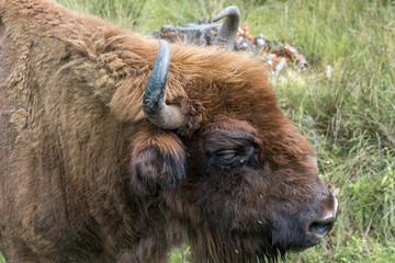 Fototapeta Portrait of European bison (Bison bonasus). Wisent.