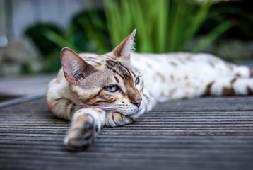 Mink Bengal Relaxing