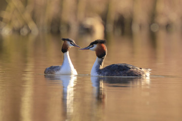 Great crested grebe Podiceps cristatus mating during Springtime
