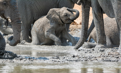 Baby Elephant Mudbath