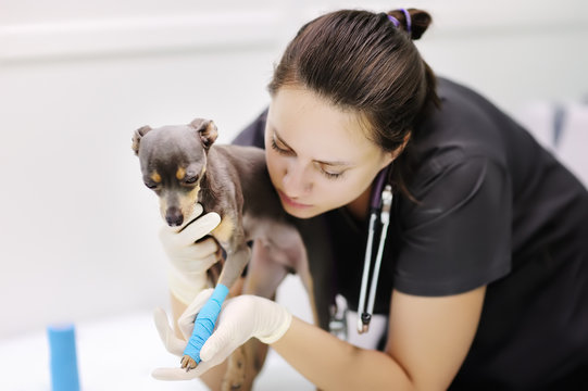 Female veterinarian doctor with dog terrier looking at x-ray during the examination in veterinary clinic