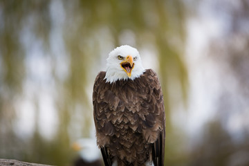 Wall Mural - Bald Eagle