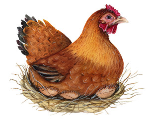 Hen. Watercolor Illustration.