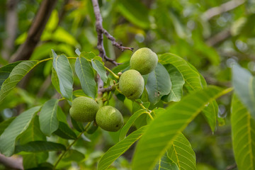 The green fruits of the Manchurian nut grow on a branch surrounded by green foliage, a bunch of fruits on a photo,