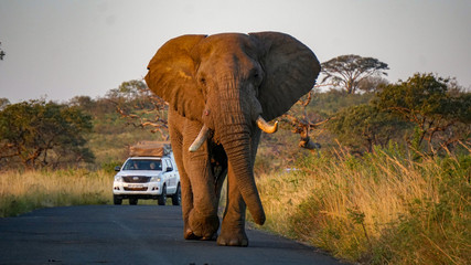 An wild elephant at a Game Reserve Safari in Africa