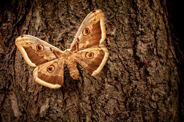 Saturnia pyri butterfly on a tree bark