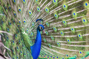 Close up of Peacock with tail feathers spread