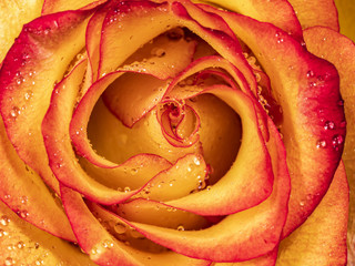 Macro shot of red tipped yellow rose with dew