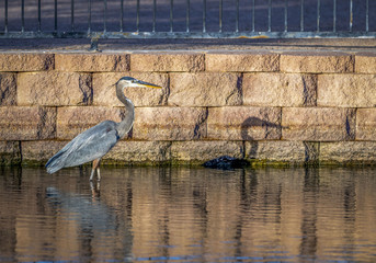 Great Blue Heron standing in a pond next to a stone wall with an iron railing