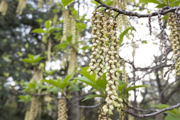 Pendent flowers of stachyurus in spring at a park in Japan.