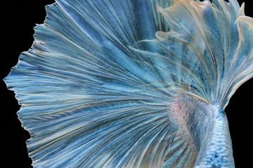 Siamese fighting fish fight blue fish, Betta splendens, Betta fish, Halfmoon Betta.
