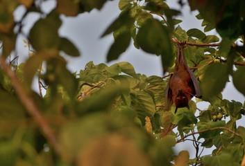 Giant indian Fruit Bat (Pteropus giganteus), Maldives Island