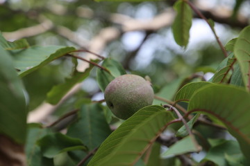 Beautiful Walnut In Growing Stage