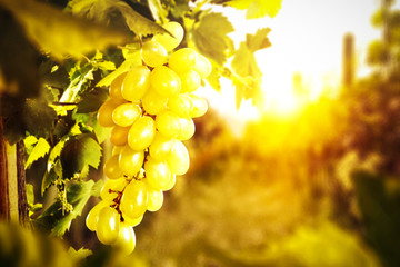 Autumn photo of Tuscany and fresh grapes fruits.