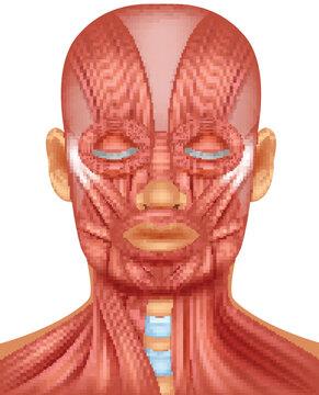 Illustration of human head muscle