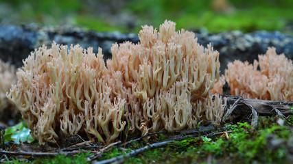 Ramaria formosa mushroom