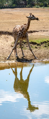 Giraffe animal drinking water from river in safari park with reflection in water