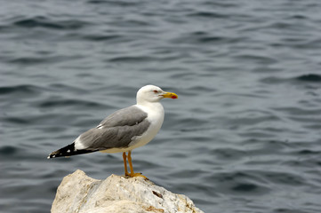 Seagull sitting on a Boulder