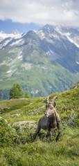 Chamois en face du Mont Blanc