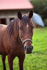 portrait of a brown thoroughbred horse