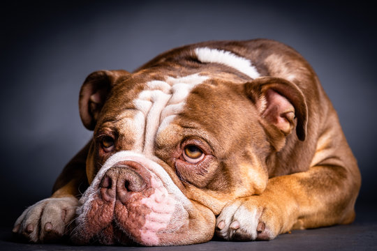 Old English bulldog lying on the floor, portrait of the dog, bully against the black background