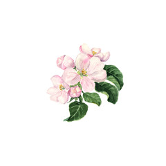 Apple blossom. Watercolor branch with flowers and leaves on white background