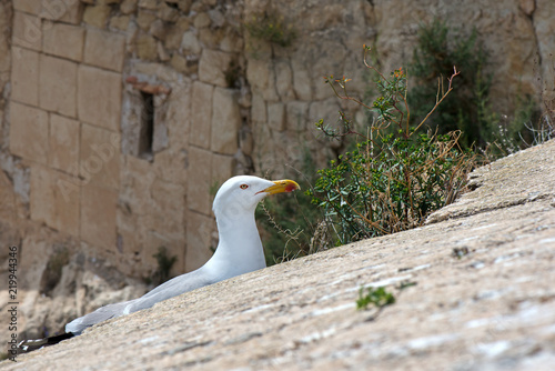 A seagull created a nest for laying eggs and raising babies