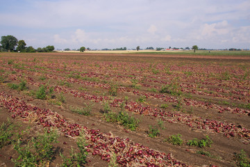 Red Onion Field, Sweden, Skane