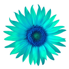 flower blue cyan sunflower, isolated on a white  background. Close-up.  Nature.
