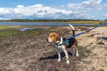 Beagle am Salzhaff
